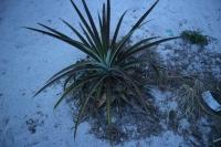 Meidän pihassa kasvaa ananaksia!