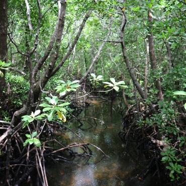 Mangrove-metsässä